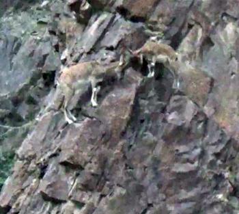 Çoruh vadisindeki yaban keçiler ilgi odağı oldu